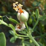 Zygophyllum fabago - Syrian Bean Caper