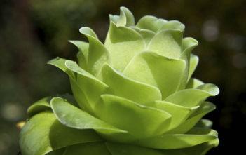 Aeonium diplocyclum 'Gigantean' aka Greenovia diplocycla 'Gigantea'