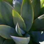 Agave mitis - Mitis Century Plant