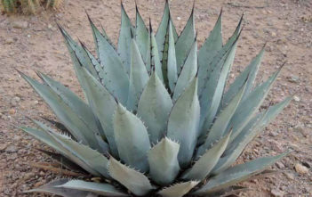 Agave parryi subsp. neomexicana - New Mexico Agave