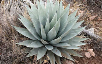 Agave parryi var. couesii - Coues Agave