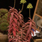 Aloe pearsonii - Pearson's Aloe