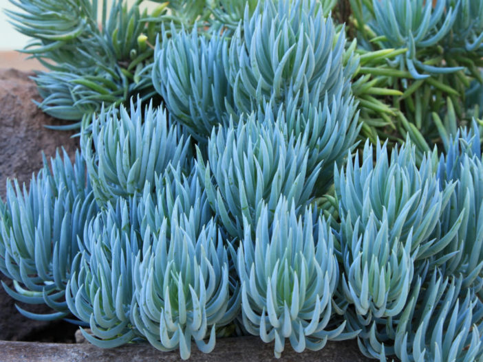 Blue Chalk Sticks, One of the Favorite Succulents for Landscape Designs