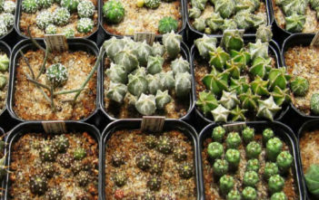 Cacti and Succulent Propagation - Propagation by Seed