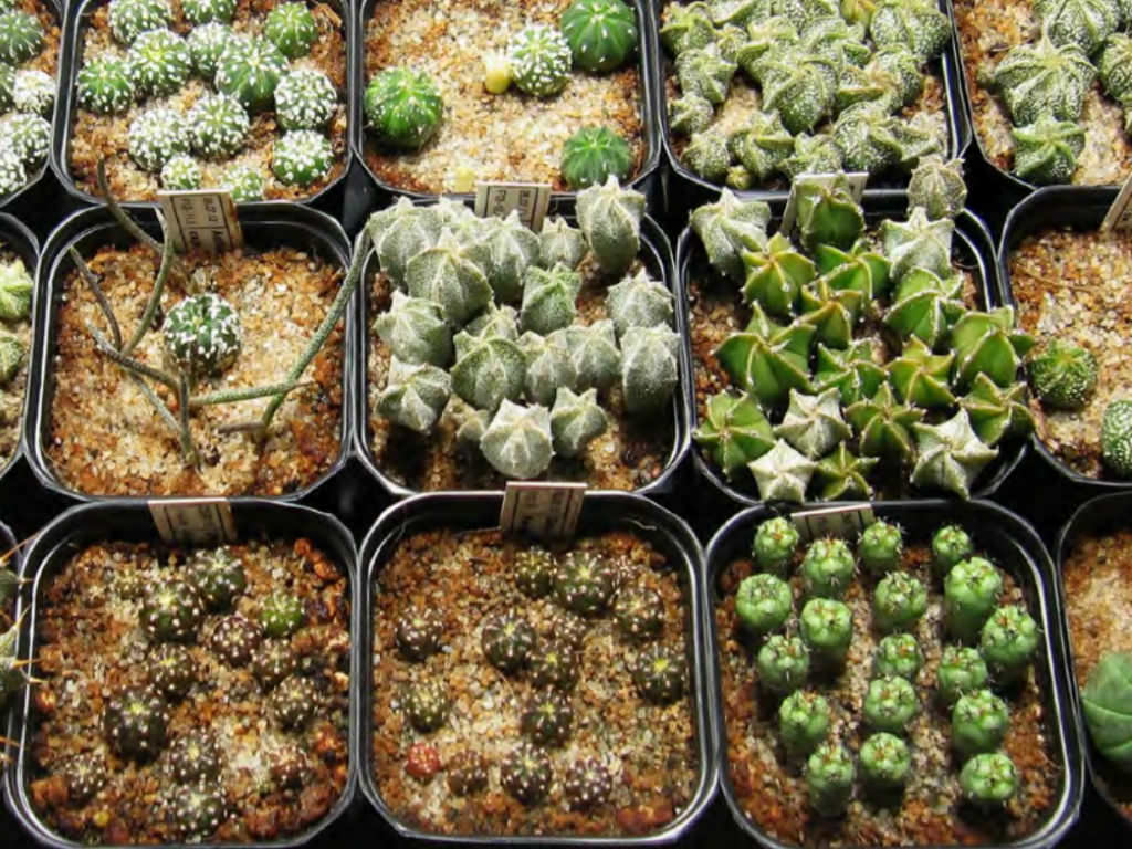 Techniques Of Cacti And Succulent Propagation Propagation By Seed World Of Succulents