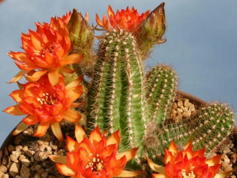Echinopsis 'Cactus Art' (Peanut Cactus) aka Echinopsis chamaecereus 'Cactus Art' or x Chamaelobivia 'Cactus Art'