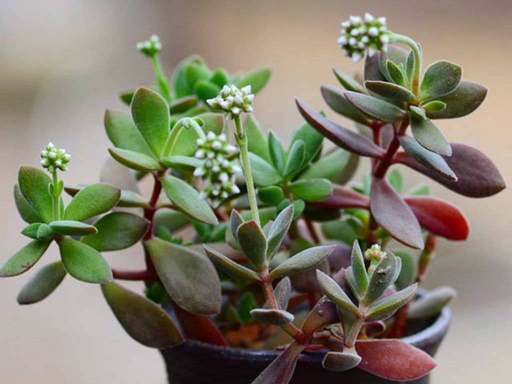 Crassula Atropurpurea Var Watermeyeri World Of Succulents