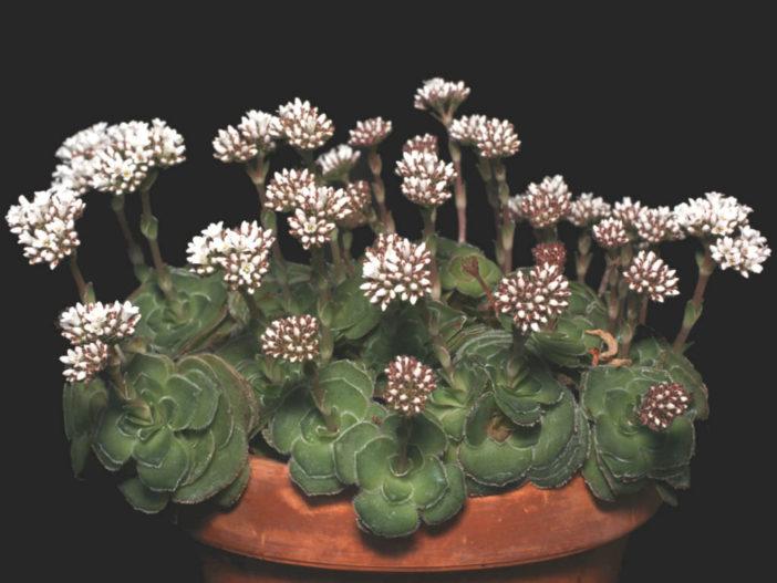Crassula cremnophila - Miniature Crassula