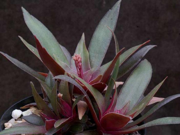 Crassula orbicularis var. rosularis