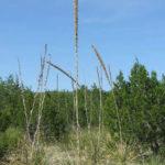 Dasylirion texanum - Texas Sotol