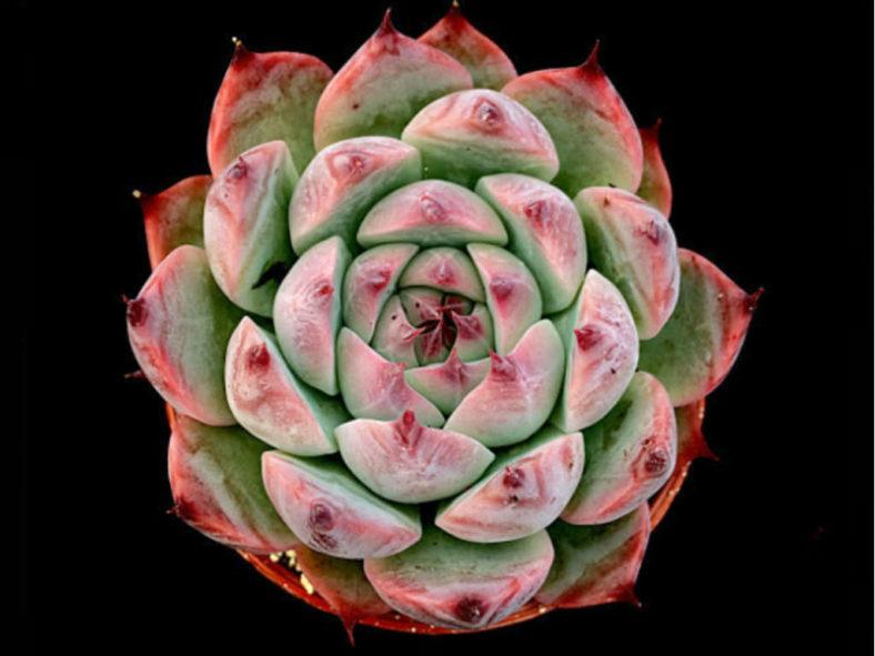 Echeveria colorata 'Haage'