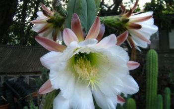 Echinopsis scopulicola