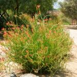 Euphorbia lomelii - Slipper Plant