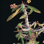Euphorbia milii var. roseana - Crown of Thorns