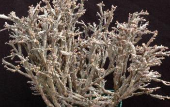 Euphorbia platyclada - Dead Plant