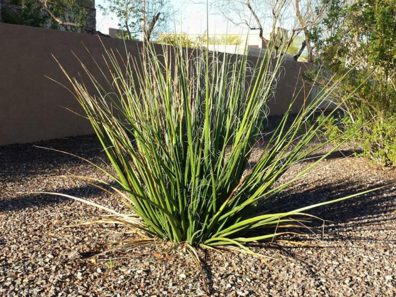 Hesperaloe funifera - Giant Hesperaloe