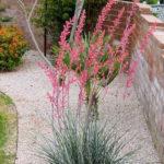 Hesperaloe parviflora (Red Yucca)