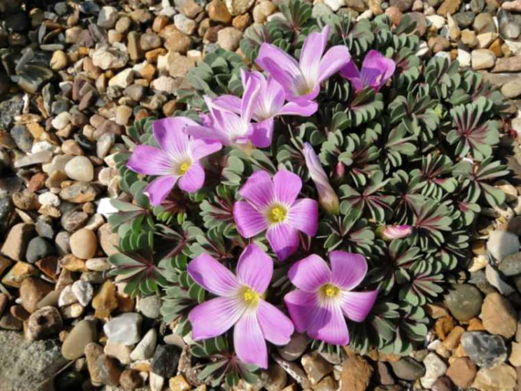 Oxalis Adenophylla Purple Heart World Of Succulents