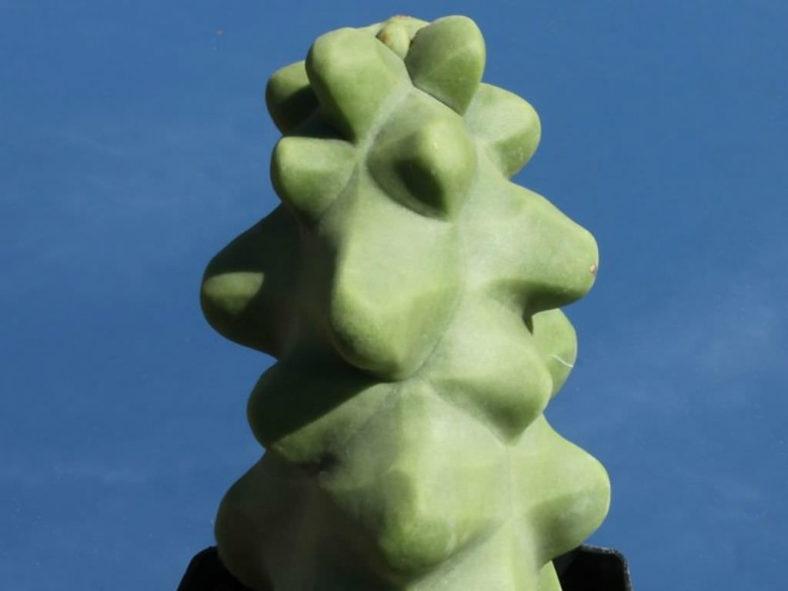Pachycereus schottii f. monstrosus (Totem Pole Cactus) aka Lophocereus schottii f. monstrosus