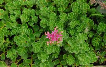 Phedimus spurius (Sedum spurium) 'John Creech' aka Sedum spurium 'John Creech'
