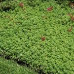 Phedimus spurius (Sedum spurium) 'John Creech'