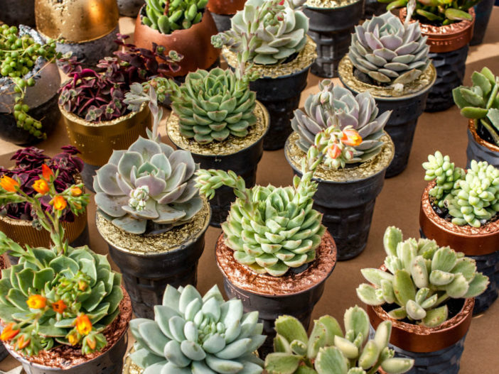 Reasons for Succulent Plants Wilting