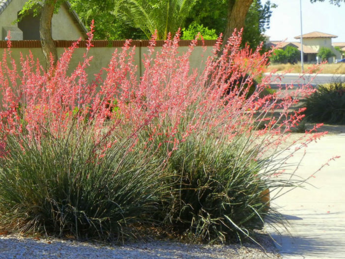 Care Red Yucca