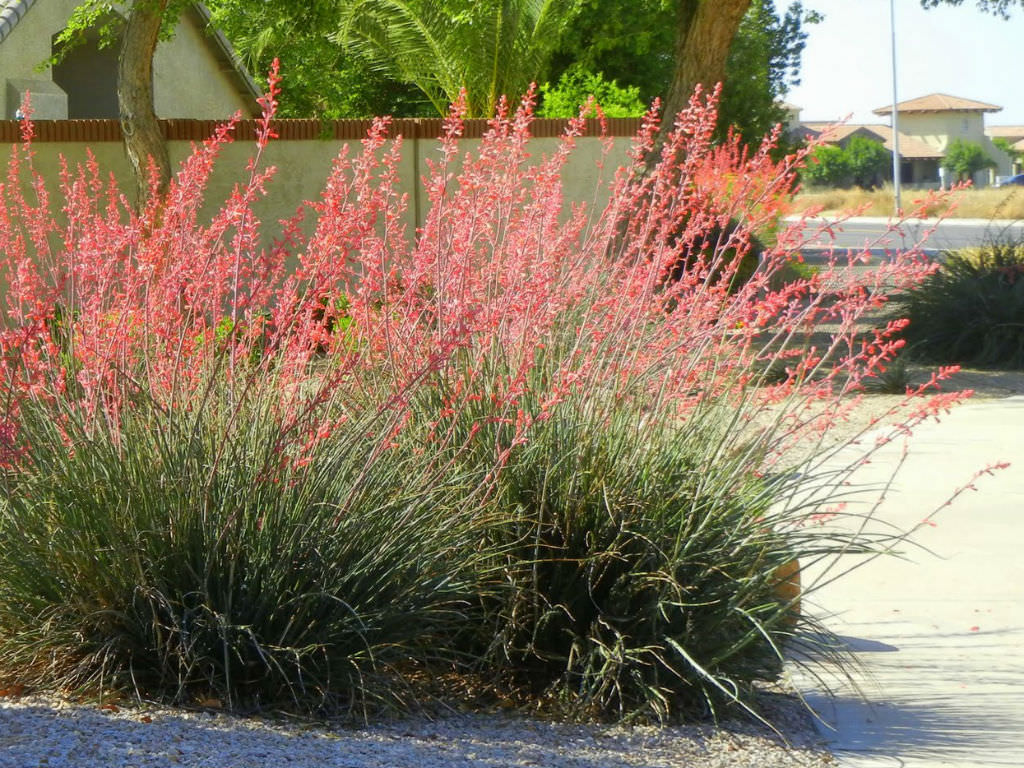 how to grow and care for a red yucca world of succulents