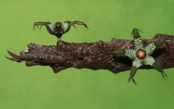 Rhytidocaulon macrolobum