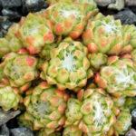 Sempervivum arachnoideum var. bryoides - Cobweb Houseleek