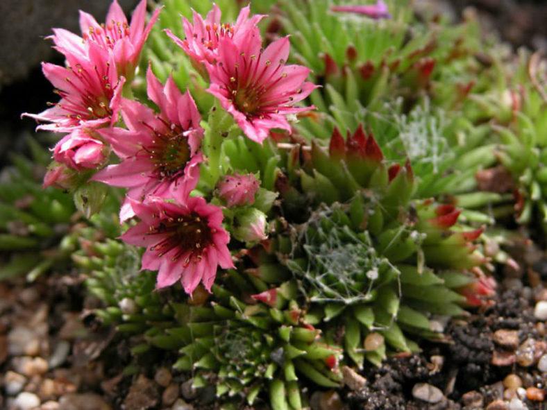 Sempervivum ×barbulatum 'Hookeri'