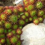 Sempervivum barbulatum 'Hookeri'