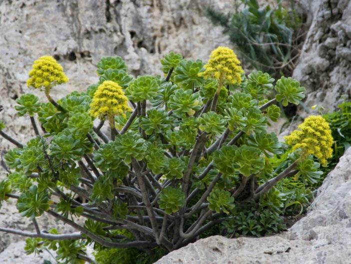 Grow and Care Tree Aeonium (Aeonium arboreum)