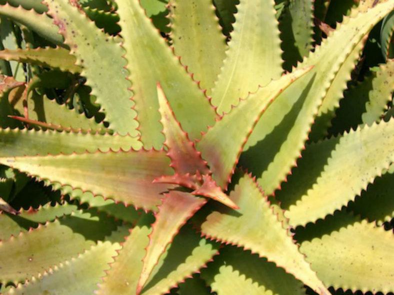 Aloe elgonica - Mt. Elgon Aloe