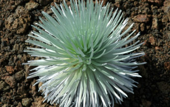 Argyroxiphium sandwicense subsp. macrocephalum- Haleakala Silversword