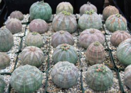 How to Grow and Care for a Baseball Plant (Euphorbia obesa)