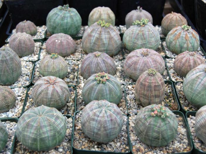 Care Baseball Plant (Euphorbia obesa)