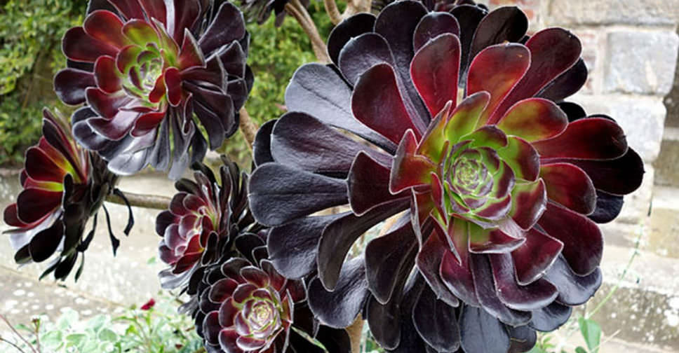 How Grow And Care For Black Rose Aeonium World