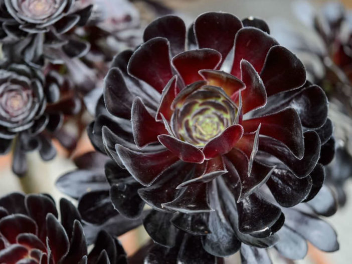 Care Black Rose Aeonium