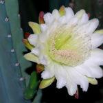 Cereus hildmannianus subsp. uruguayanus (Spiny Hedge Cactus)