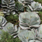 Cotyledon orbiculata 'Lighthouse Road' - Pig's Ears