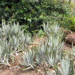 Cotyledon orbiculata var. oblonga - Finger Aloe