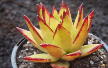 Echeveria agavoides var. multifida - Molded Wax