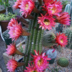 Echinopsis 'Flying Saucer'