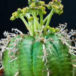 Euphorbia meloformis subsp. valida