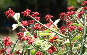 Euphorbia tithymaloides 'Variegatus' - Variegated Devil's Backbone