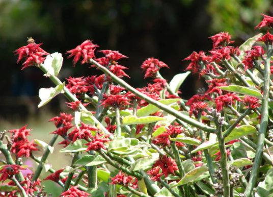Euphorbia tithymaloides 'Variegatus' – Variegated Devil's Backbone