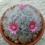 Mammillaria bocasana 'Roseiflora' - Powder Puff Cactus