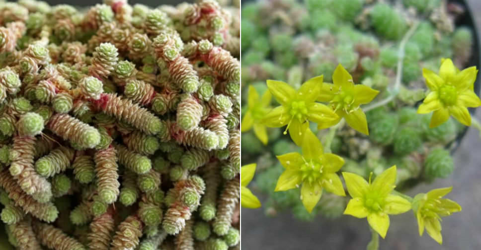Sedum Humifusum Creeping Stonecrop World Of Succulents