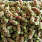 Sedum humifusum - Creeping Stonecrop